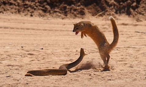 Mongoose & Cobra 1
